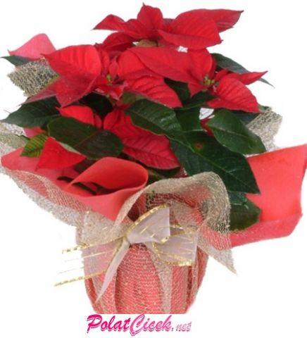 Atatürk Çiçeği ( Poinsettia )
